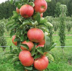Выращивание яблони в саду и на даче