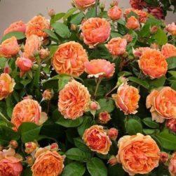 Уход за розамы на дачном участке